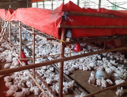 Renforcement des capacités de la filière avicole en Ethiopie
