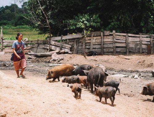 L'ENSV-FVI lance un appel à experts biosécurité en filière porcine pour 4 pays ASEAN